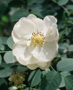 White Oil Bearing Rose