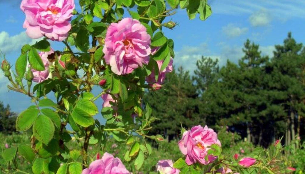 rosa damascena and bulgaria s rose valley the home of rose otto