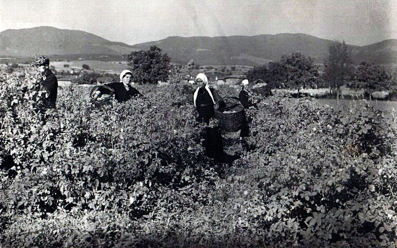 1937 rose harvesting Bulgaria
