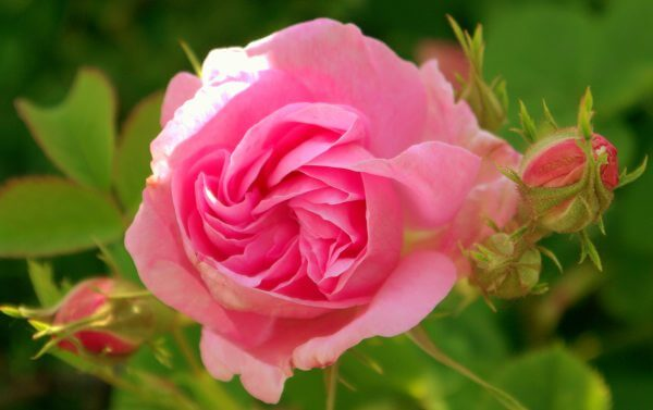 Pink rose - rosa damascena