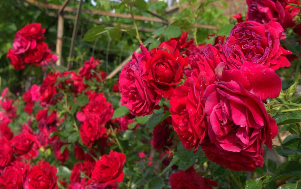 Beautiful red roses - meaning