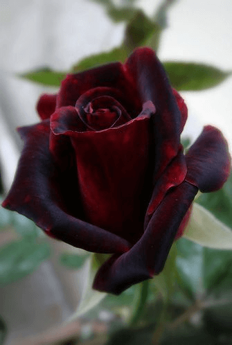 b87572238e336 Rose Colors Meaning and Symbolism - Choose the Right Roses