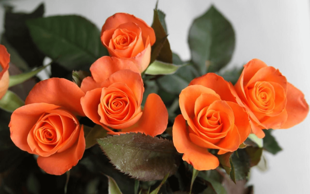 Orange roses meaning