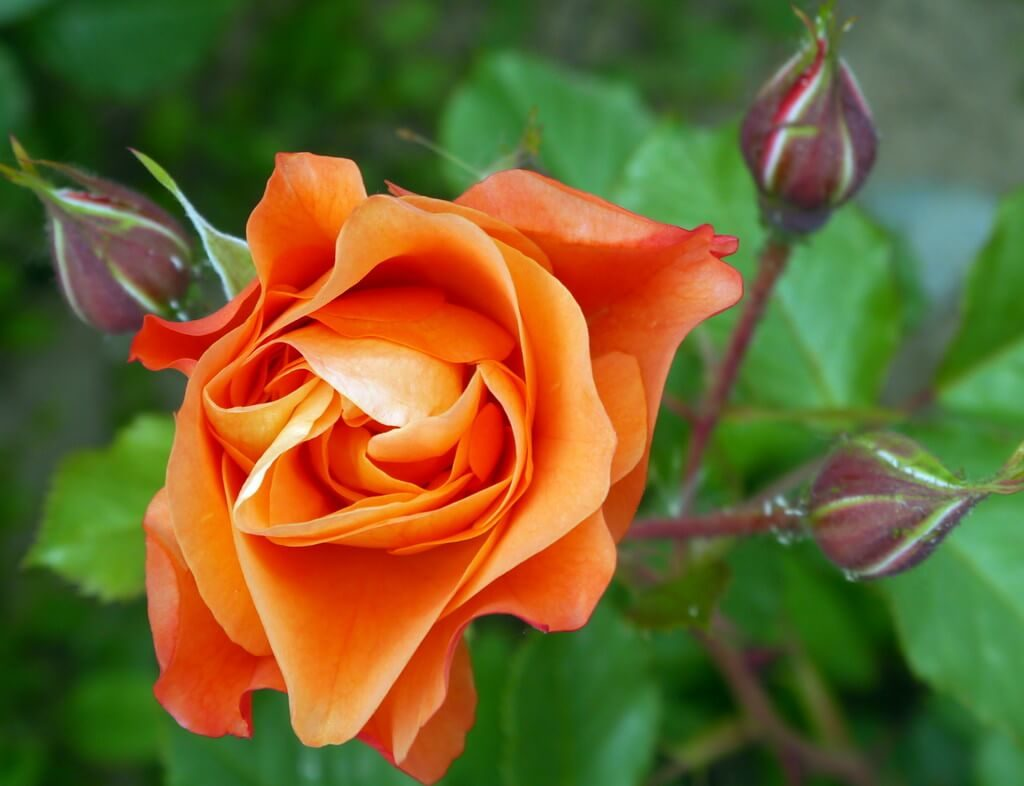 Peach rose meaning
