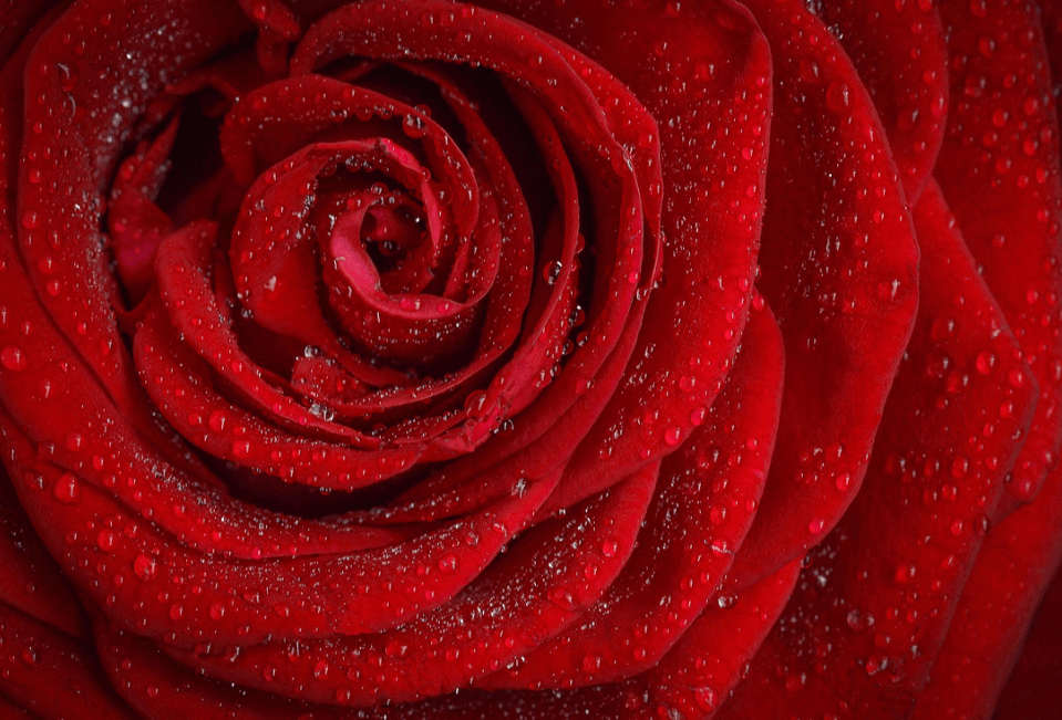 A close up of a red rose with morning dew - meaning of a red rose