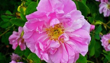 Rosa Damascena 10 uses